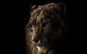 Обои Ирбис, irbis, snow leopard, wild cat, темный фон, кошка