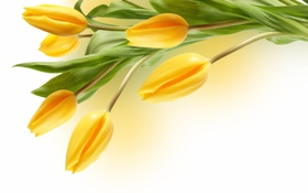 Картинка желтые, тюльпаны, белый фон