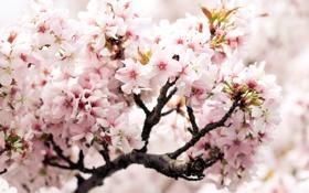 Картинка вишня, розовый, ветка, весна, черешня, цветки, cherry branch