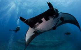 Обои рыбы, пузыри, океан, аквалангист, скат, под водой, Manta birostris