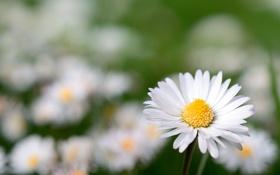 Картинка Цветок, ромашка, flower