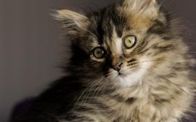 Обои взгляд, пушистый, мордочка, котёнок