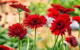 Обои цветы, яркие, красные, герберы, цветение