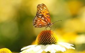 Обои цветок, бабочка, крылья, лепестки, насекомое, мотылек, эхинацея
