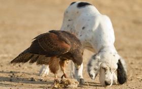 Картинка собака, сокол, друзья, охотники, птица-хищник
