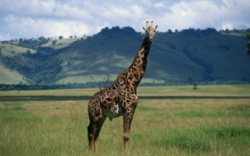 Обои природа, жираф, шея, giraffe