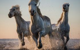 Обои вода, брызги, кони, лошади