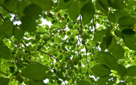 Обои листья, свет, деревья, ветки, природа, фон, зелёные