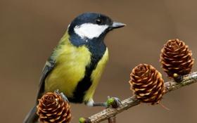 Картинка природа, ветка, птичка, шишки, синица