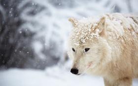 Картинка зима, снег, Arctic wolf
