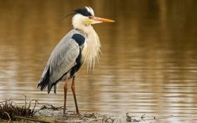 Картинка птица, водоем, цапля