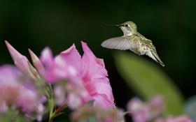 Картинка зелень, цветок, птица, фокус, колибри