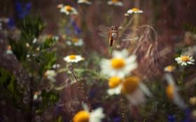 Обои поле, трава, цветы, ромашки, стрекоза, луг, боке