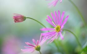 Обои цветы, размытость, бутон, розовые