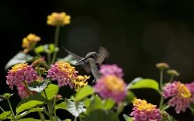 Обои цветы, нектар, птица, колибри