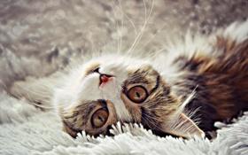 Картинка валяется, морда, кошка, лежит, боке