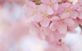 Картинка сакура, цветы, ветки, дерево