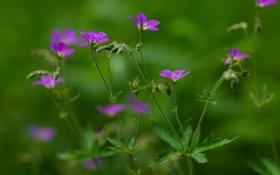 Обои стебли, лепестки, размытость, фиолетовые, бутоны, полевые цветы