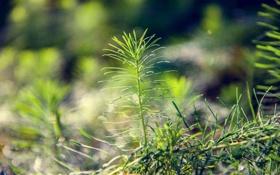 Обои растение, зелень, хвощ, солнце