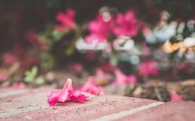 Обои цветы, розовый, лепесток