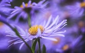 Обои астры, сиреневые, цветы, размытость