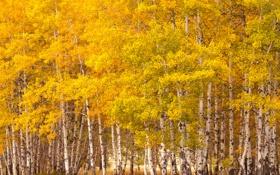 Обои осень, лес, листья, роща, осина