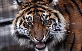 Обои усы, взгляд, морда, тигр, зубы, пасть, злой