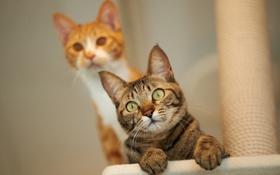 Картинка кот, взгляд, кошки