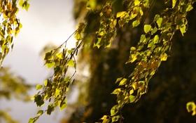 Обои Макро, береза, осень, листья, ветки