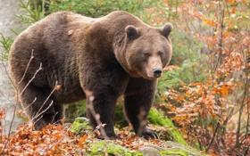 Обои природа, фон, медведь