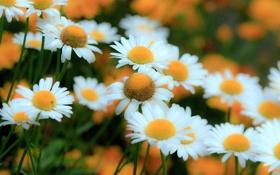Картинка природа, ромашки, лепестки, сад, луг
