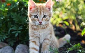 Обои кот, рыжий, котенок, солнце, кошка