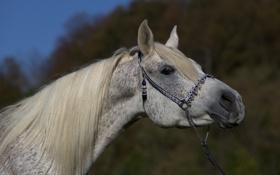 Обои морда, серый, конь, лошадь, грива, шея, (с) OliverSeitz