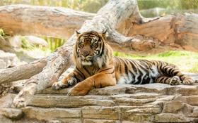 Картинка морда, дикая кошка, отдых, хищник, тигр