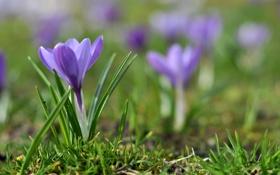 Обои весна, трава, крокус, размытость, фиолетовый, цветок, сиреневый