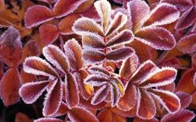 Картинка растение, изморозь, макро, иней