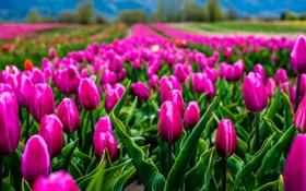 Обои поле, цветы, природа, тюльпаны