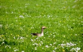 Картинка поле, животные, лето, трава, цветы, птицы, птица