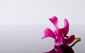 Обои макро, цветы, отражение, серый, фон, розовый, минимализм