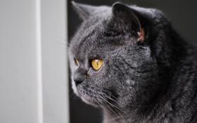 Картинка кошка, глаза, кот, усы, взгляд, серый, желтые