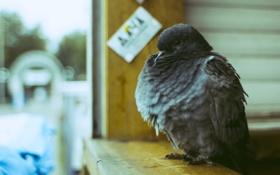 Обои птица, голубь, гордый