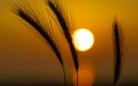 Картинка небо, солнце, макро, закат, растение, колос