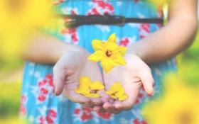 Обои цветок, желтый, руки, лепестки, пальцы, нарцисс