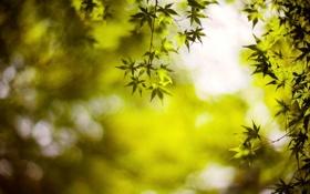 Обои листья, макро, зеленый, фон, дерево, обои, размытие