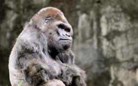 Обои животные, горилла, задумалась