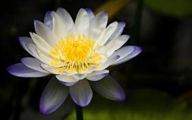 Обои фон, лилия, водяная, бело-сиреневая