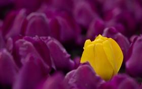 Обои весна, тюльпаны, цветы