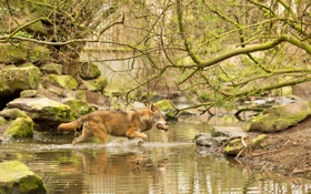 Обои природа, волк, охота