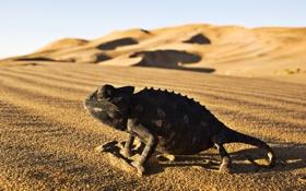 Обои desert, Iguana, reptile