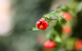 Обои цветы, красный, весна